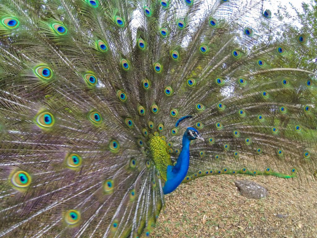 Касела: к павлинам можно подойти вплотную. маврикий экскурсии отзывы и цены