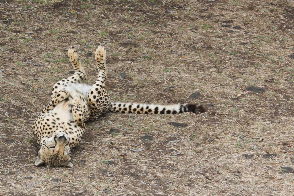 Касела: большие кошки - тоже кошки :) маврикий экскурсии отзывы и цены
