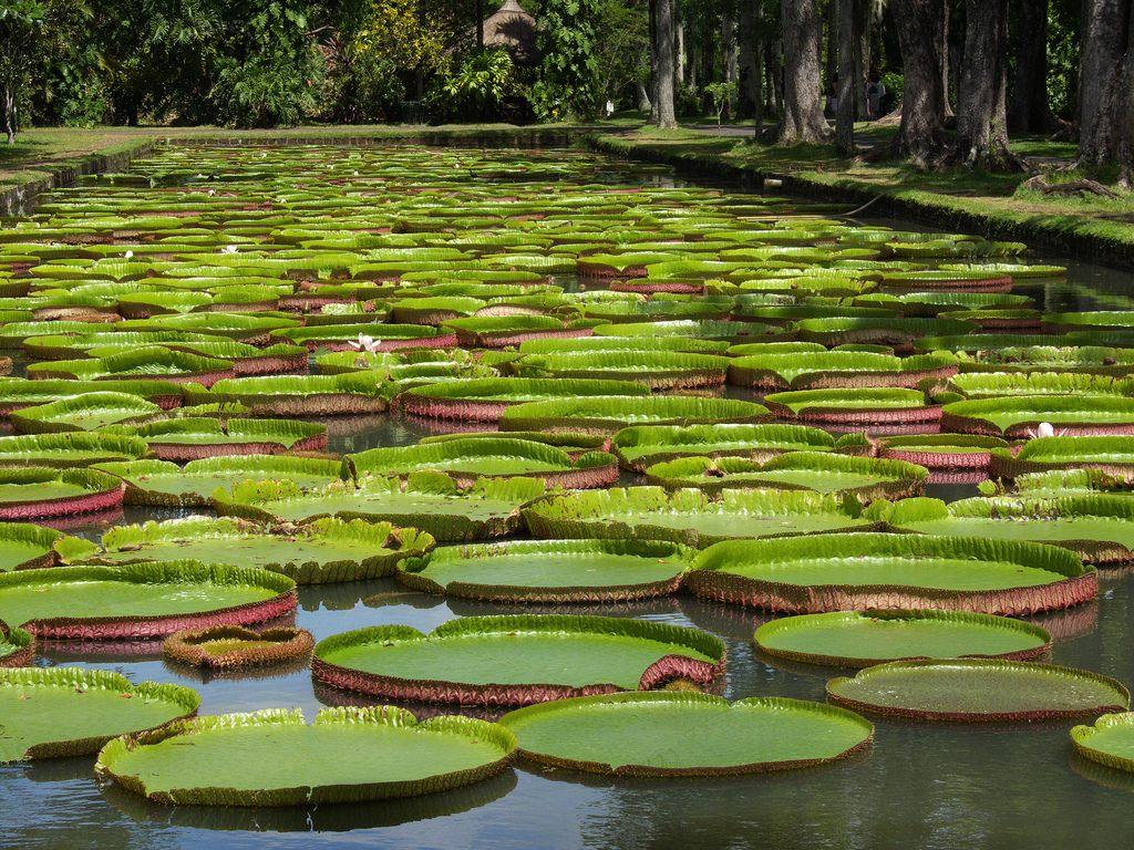 Ботанический Сад Памплемус - место, которое будет интересно всем, а не только ботаникам :) Чайный завод и чайные плантации. маврикий экскурсии отзывы и цены