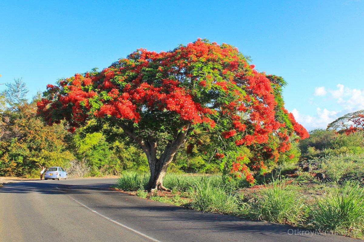 Яркие деревья на севере острова Маврикий