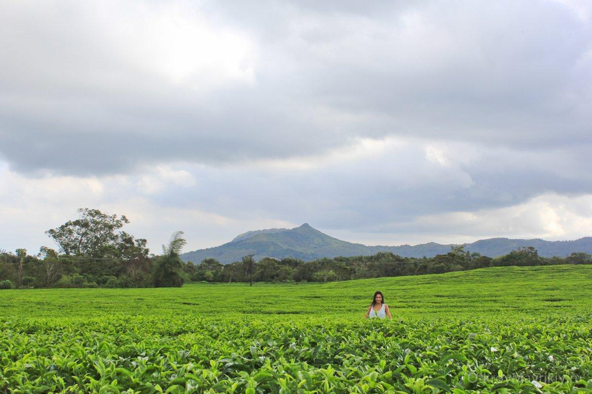Чайные плантации Маврикия
