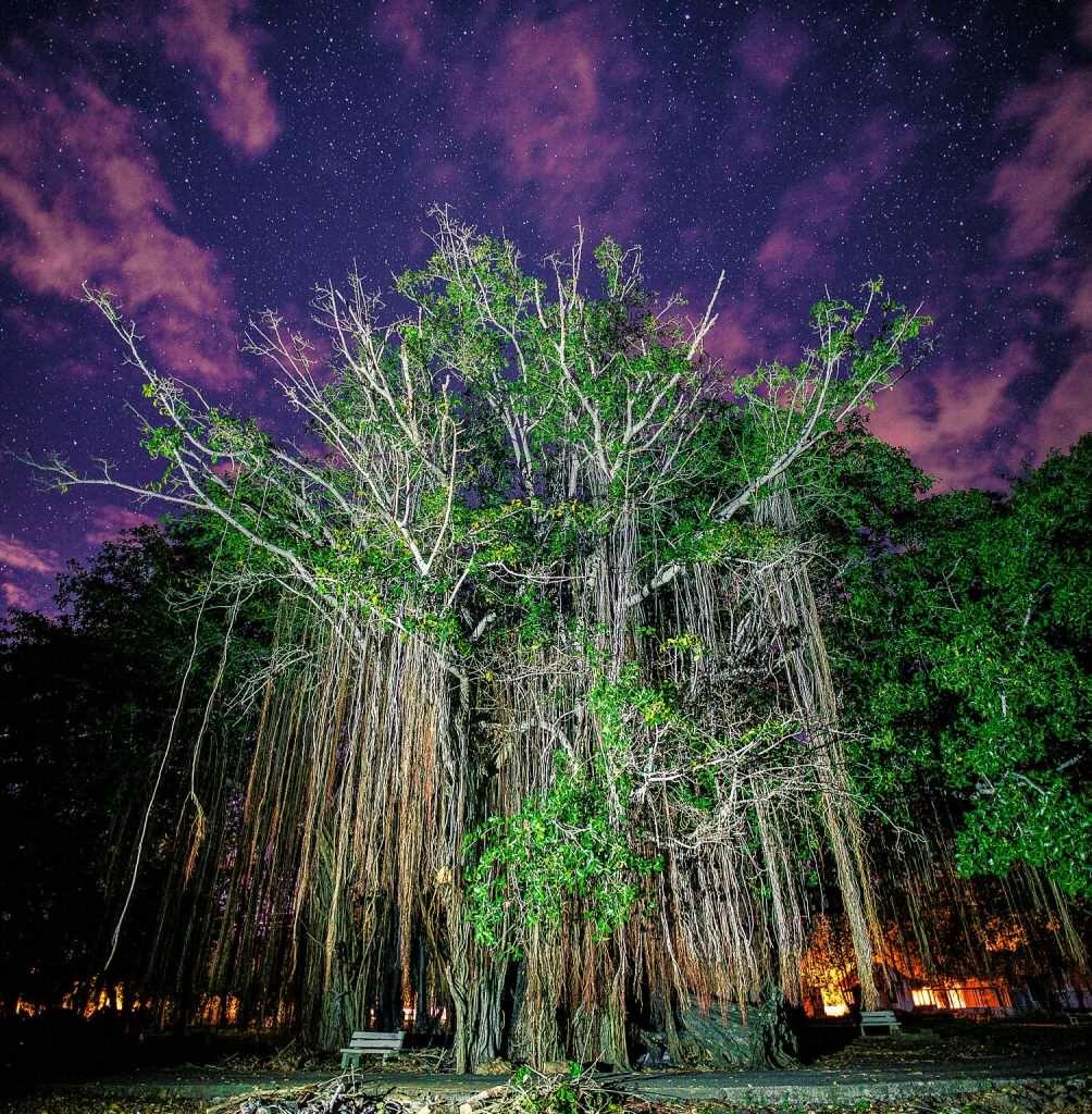 Баньяновое дерево в Кас Нояль. Маврикий